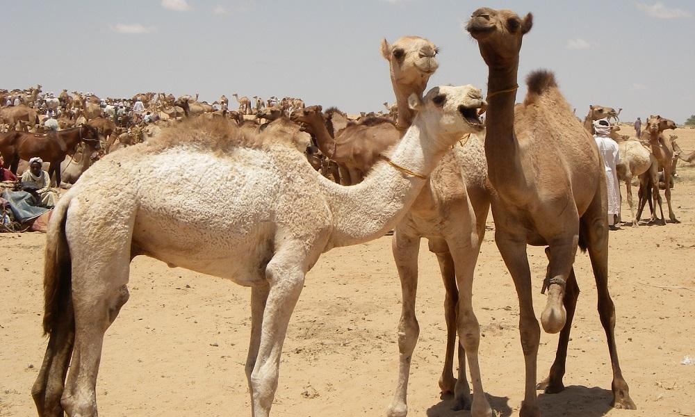 Arab Nomads